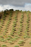 Olive trees at Douro Valley Stock Images