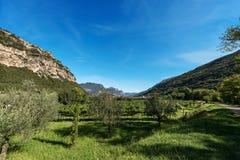 Olive Trees e viti in valle di Sarca - Trentino Italia Fotografia Stock