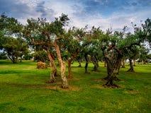 Olive Trees en Sicilia Fotografía de archivo
