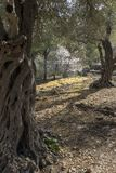 Olive Trees en una arboleda Imagen de archivo