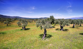 Olive trees Royalty Free Stock Photo