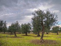 olive trees för molnig dag Arkivfoton