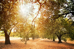 Olive trees farm royalty free stock images