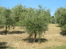 Olive trees. In a field Stock Photos