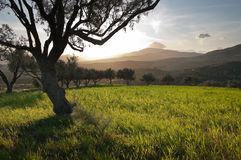 Olive Trees In Field Grass At Sunset Royalty Free Stock Photo