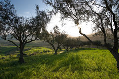 Olive Trees In Field Grass At Sunset Royalty Free Stock Image