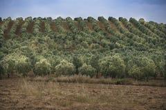 Olive trees field. Stock Photo