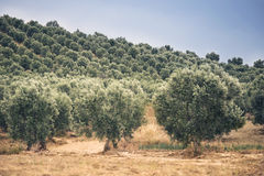 Olive trees field. Royalty Free Stock Photography