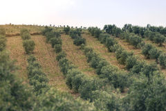 Olive trees field. Stock Images