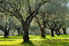 Olive trees. Field of olive trees in Peloponnese, Greece Royalty Free Stock Photography