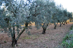 Olive trees field Royalty Free Stock Image