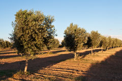 Olive trees field Royalty Free Stock Photos