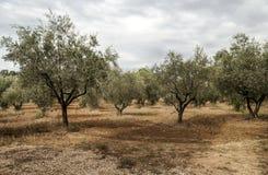 Olive trees Royalty Free Stock Photos