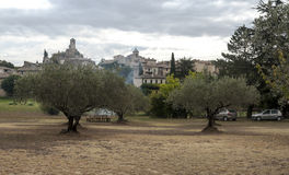 Olive trees Stock Image
