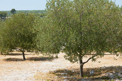 Olive trees in France Royalty Free Stock Photos