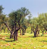 Olive trees in a garden. In the spring cloudy in the afternoon, Lebanon Stock Photography