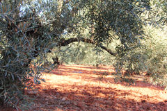 Olive trees in garden Stock Photo