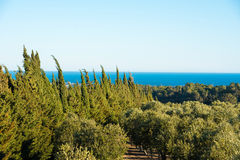 Olive trees in the garden against the sea in Tarragona, Catalunya, Spain. Copy space for text. Stock Images