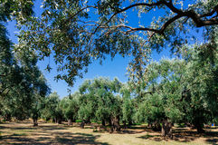 Olive trees in garden Royalty Free Stock Photos