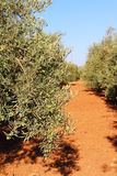 Olive trees in garden Royalty Free Stock Images