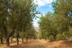 Olive Trees Garden, con las aceitunas en las ramas, fondo de la naturaleza Fotografía de archivo