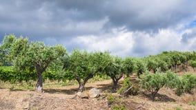 Olive trees in garden in Etna region of Sicily Stock Photo