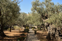 Olive trees in the Garden of Gethsemane, Jerusalem Royalty Free Stock Image