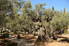 Olive trees in the Garden of Gethsemane, Jerusalem Stock Photos