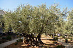 Olive trees in the Garden of Gethsemane, Jerusalem Royalty Free Stock Photography