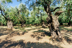 Olive trees garden Royalty Free Stock Photography