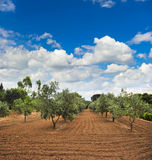 Olive trees garden in Provence Royalty Free Stock Photos
