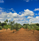 Olive trees garden in Provence Stock Photo