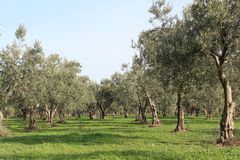 Olive trees and gardens. November harvest in olive gardens at canakkale deer Stock Images