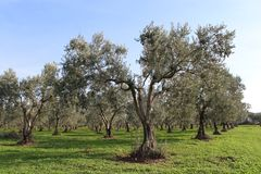 Olive trees and gardens stock images