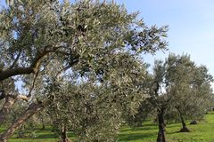 Olive trees and gardens. November harvest in olive gardens at canakkale deer Stock Image