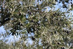 Olive trees and gardens. November harvest in olive gardens at canakkale deer Royalty Free Stock Image