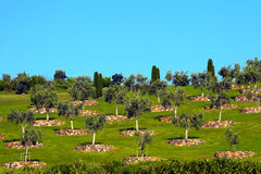 Olive Trees on Grass Hill Stock Photos