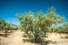Olive trees at Greece country side Royalty Free Stock Images