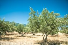 Olive trees at Greece country side Royalty Free Stock Photography