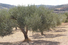Olive Trees. Greece, Crete. The Olive garden Royalty Free Stock Images