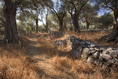 Olive trees in Greece - island Samos Royalty Free Stock Photography