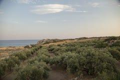Olive trees in Greece. Olive trees field in Greece, island Crete Stock Photo
