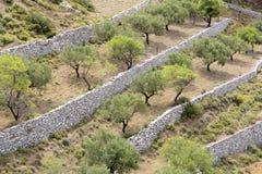 Olive trees on a greek island. Olive trees plantation on a greek island Stock Photo