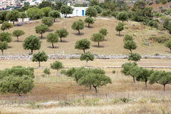 Olive trees on a greek island Royalty Free Stock Images
