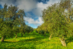 Olive trees in a green meadow in Sardinia Stock Image