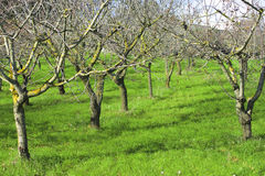 Olive trees in green valley Stock Images