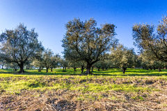 Olive trees on green and yellow weeds Royalty Free Stock Image