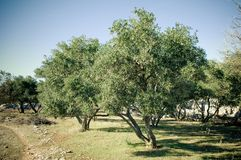 Olive trees grove Royalty Free Stock Images