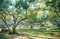 Olive trees grove Stock Photo