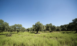 Olive trees or grove Stock Photo